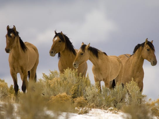 A federal plan would allow the killing of wild horses