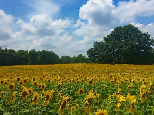 S-Sunflower-1.jpg