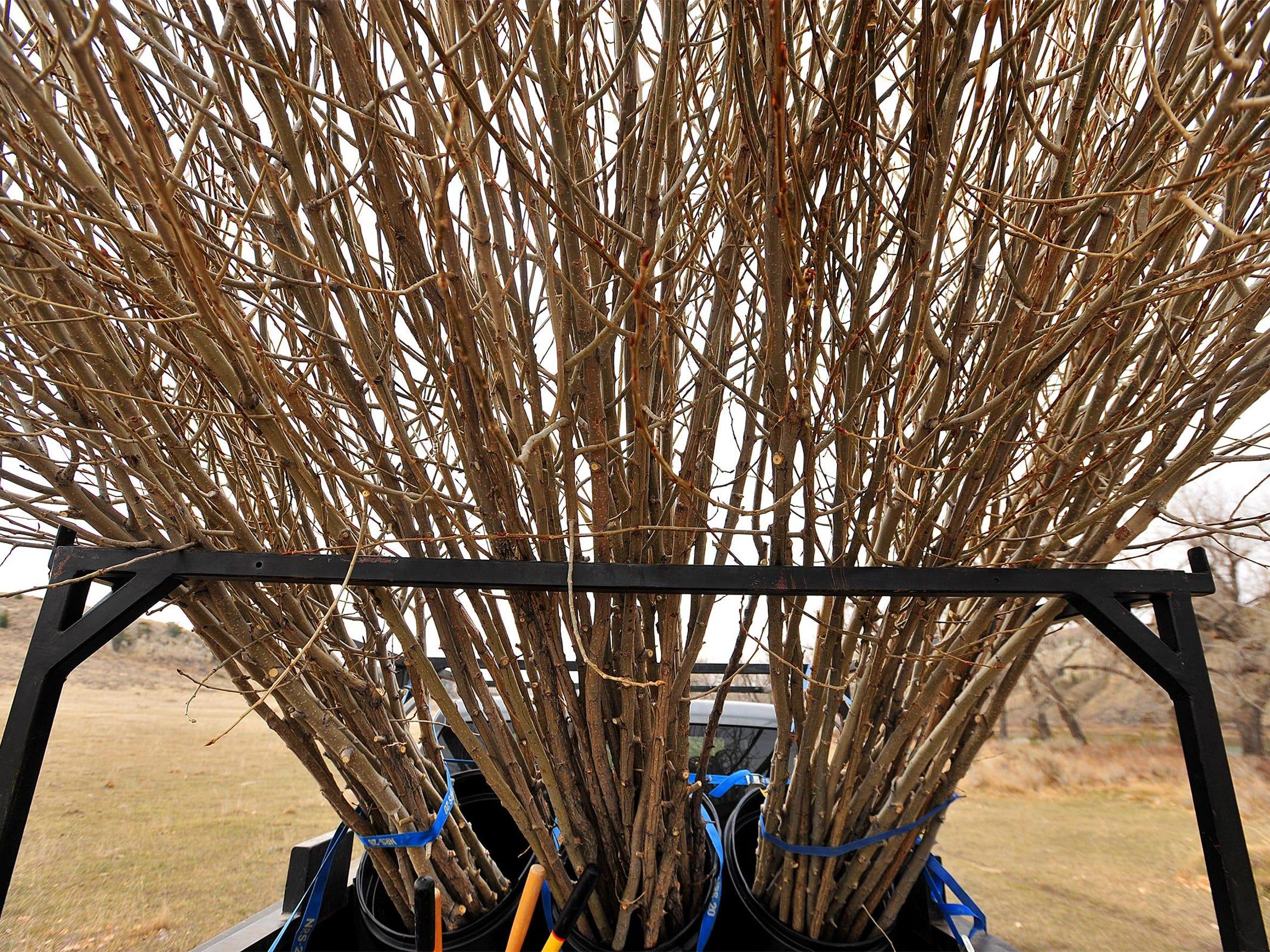 -03222016_planting cottonwoods-a.jpg_20160322.jpg