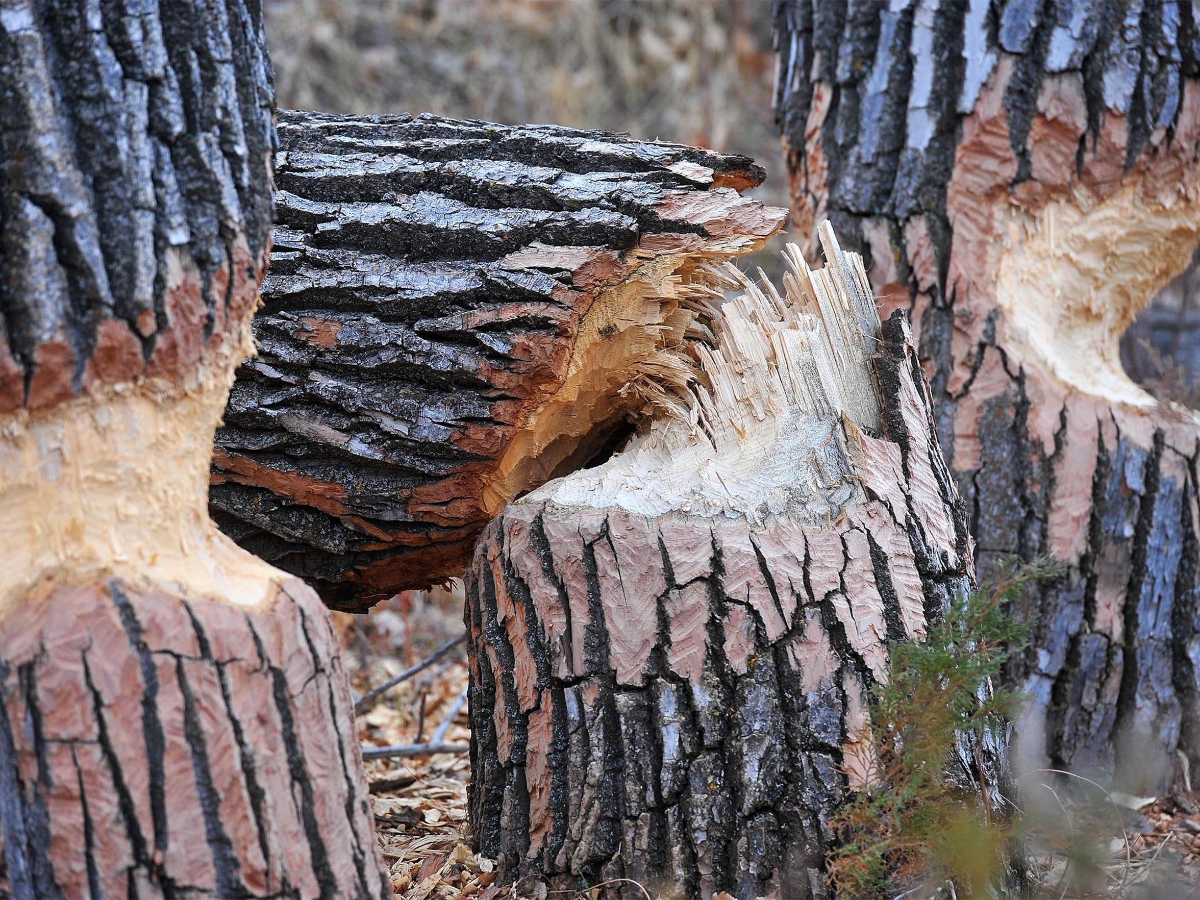 -03222016_planting cottonwoods-q.jpg_20160322.jpg