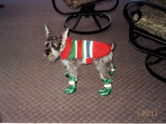 Michalene Whitaker's german schnauzer, Hansel, is seen in this 2011 photo. Whitaker believes the raincoat saved Hansel's life when the dog was attacked by coyotes last month.