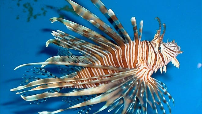 Lionfish were first documented in Florida off Dania Beach in 1985. Today, they have spread to all coastal regions of the state.