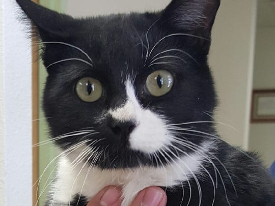 This domestic short haired black and white male cat is about 6 months old. He is a sweet cat and good with people. He was left in Animal Control's outside lockup. For more information about adopting a Pet of the Week or other furry friends visit Alamogordo Animal Control, 2910 N. Florida Ave., Monday through Saturday between noon and 5 p.m. or contact them at 439-4330.