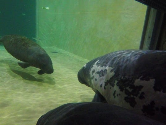 636454274021439364-Aqua-Manatee-04---Amanda-Carberry-Columbus-Zoo-and-Aquarium.jpg
