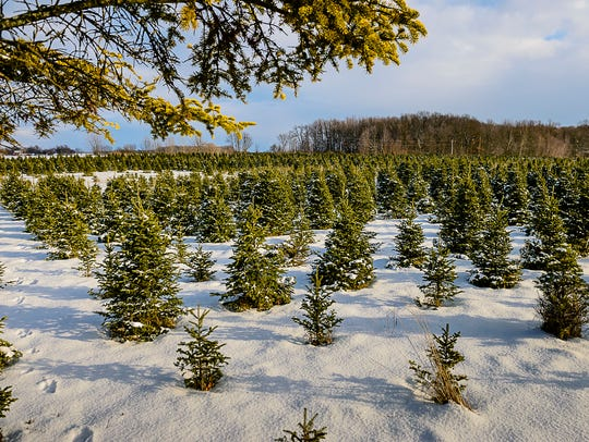 Rows of Christmas trees take up a large portion of