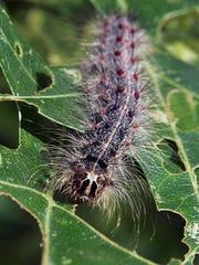 A gypsy moth caterpillar walks along partially eaten