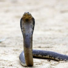 Reptiles, such as this cobra, can function for up to an hour even after being decapitated, one expert says.