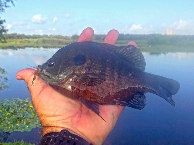 Learning to fly fish is easiest when targeting bluegill and