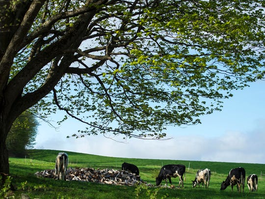 Heifers graze in a pasture at Dolloff Acres, Mike and Heidi Dolloff's dairy farm in Springfield on Thursday, May 10, 2018.