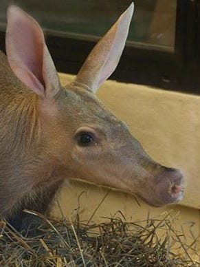 An unnamed baby aardvark born Tuesday at The Cincinnati Zoo died after its birth. The mother that carried the aardvark, Ali, appears to be healthy, zoo officials said.