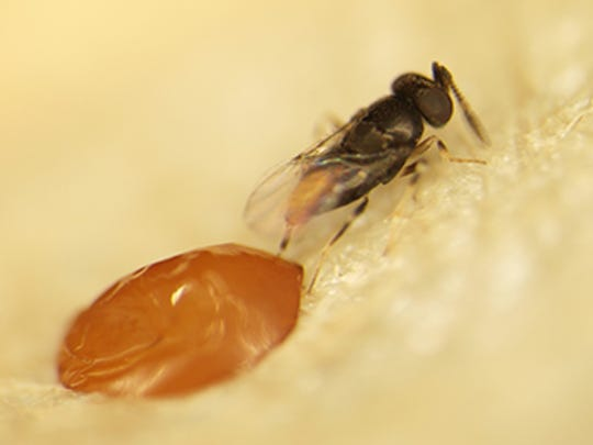 Oobius agrili injects its egg in the egg of an emerald