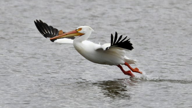 A pelican takes off from the water April 16 near Kimberly Point Park in Neenah.
