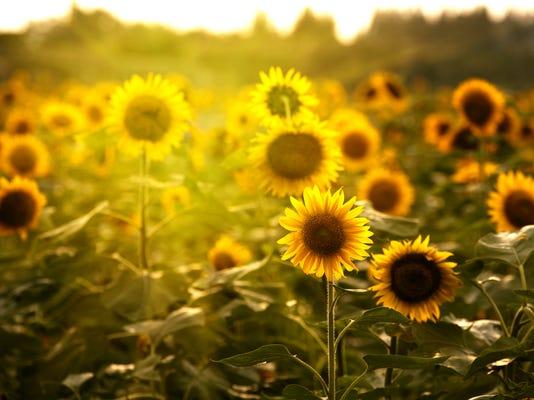20150310_sunflowers.jpg