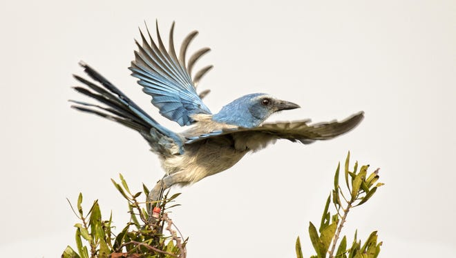 The Florida Scrub-Jay Festival will be Saturday, Feb. 23, 2019 at the Merritt Island National Wildlife Refuge and the Titusville Welcome Center.