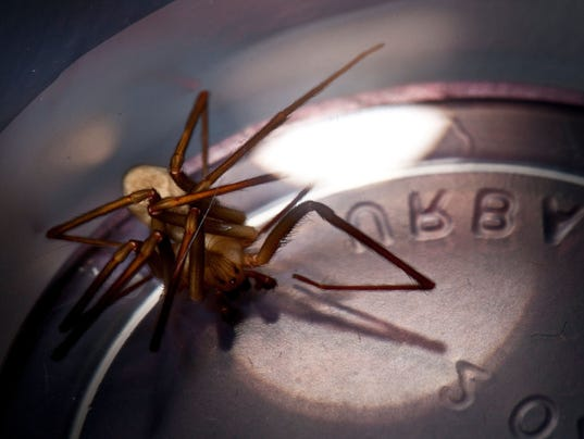 636325407987881990-brown-recluse-spider.jpg