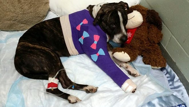 Cabela, a 1- to 2-year-old pit-bull mix, cuddles with a stuffed animal after surgery March 6, 2015, to repair gunshot damage at Tampa Bay Veterinary Emergency Service in Tampa.