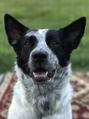 Pepper is a beautiful adult spayed female cattle dog.