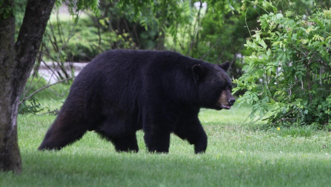A large black bear was spotted walking through a grassy area off Woodport Road in Sparta on Monday.
