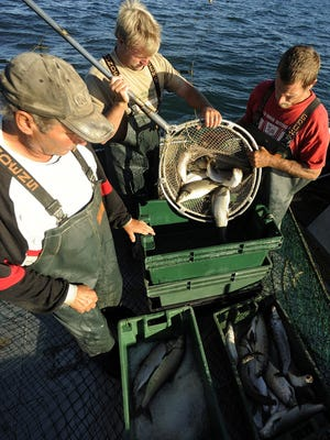 Commercial fishermen handle fish caught from a trap net in Lake Michigan. A commercial fisherman has completed the first year of a three-year trial on Lake Huron.