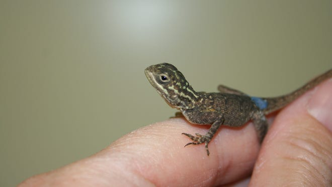 Common or red-headed agamas (Agama agama) are lizards native to sub-Saharan Africa.  The males are known for having bright blue bodies with orange or red heads during the breeding season.  Eight babies hatched March 24 at the Phoenix Zoo from a clutch of eggs laid on Jan. 16, 2014.