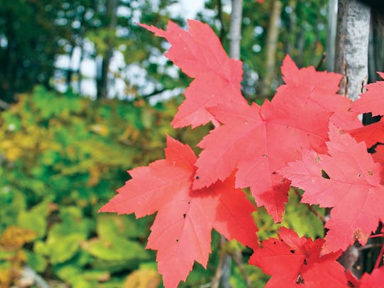 ADVANCE FOR SUNDAY, SEPT. 25 AND THEREAFTER- In a file photo from Sept. 21, 2015, fall foliage turns shades of yellow, orange and crimson, signaling the arrival of fall in the Marquette, Mich., area. Predictions are indicating the Western U.P. will see fall colors soon, with trees expected to reach their peak in mid-September to early October, according to Travel Michigan. (Justin Marietti/The Mining Journal via AP)