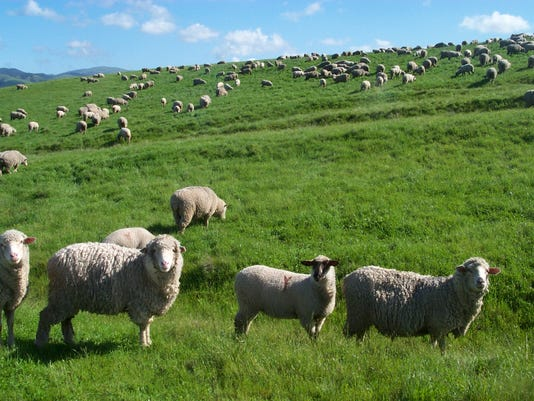 sheep grazing.jpg
