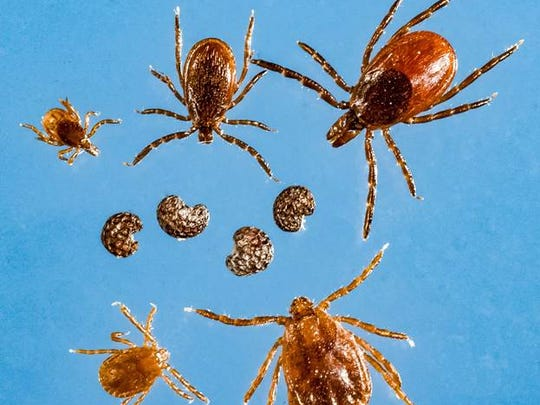 "The Haemaphysalis longicornis tick, commonly known as the ""longhorned tick,"" was recently discovered in multiple locations in Westchester County, according to the state Health Department. The photo shows in the top row the black-legged/deer tick family; the center row are poppy seeds; while the bottom row are nymph and adult longhorned ticks, according to the Health Departmen"