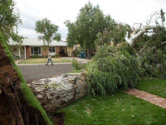 Eucalyptus tree falls in Phoenix