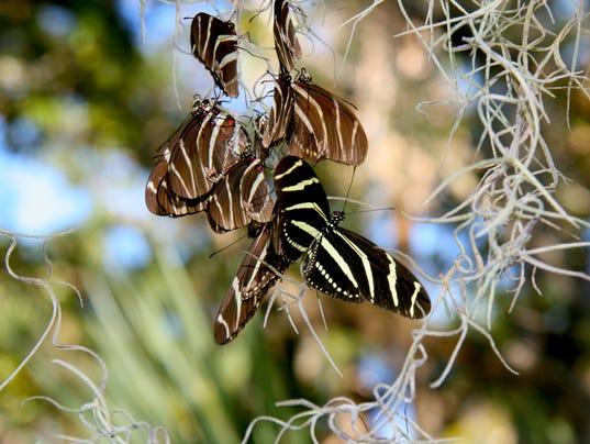 636501473354573849-zebra-longwing-roosting-fmel-9-copy.jpg