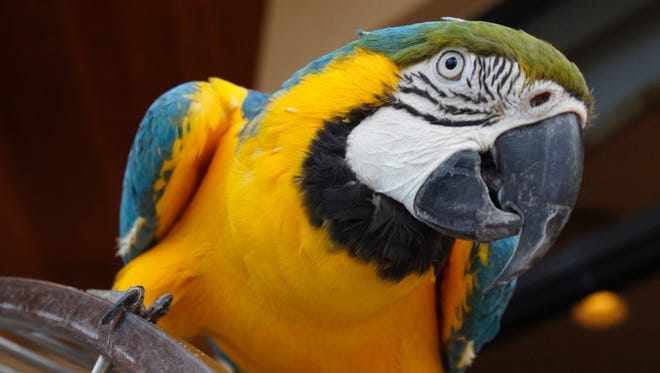 Jim Richards blue and gold Macaw Billie on top of her perch.