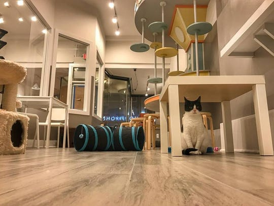 Milky Way enjoys some solitude at Catsbury Park, the first cat cafe at the Jersey Shore.