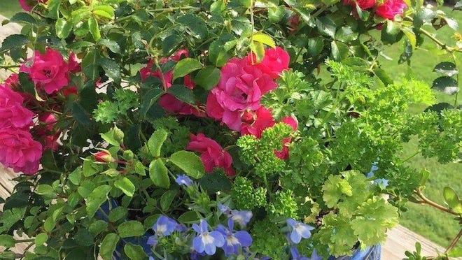 Heat-tolerant flower Carpet Pink Supreme Roses and Lobelia bloom in full sun.