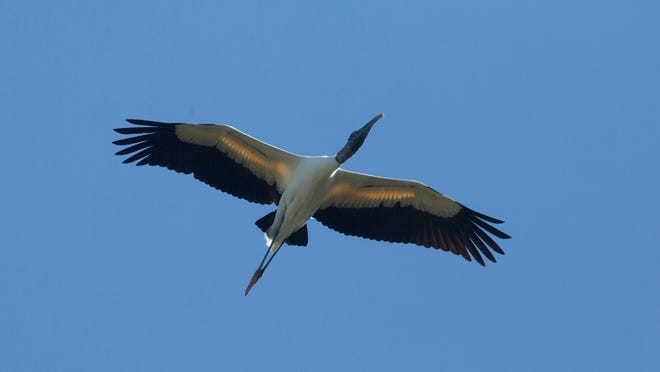 A woodstork floats over Corkscrew Swamp Sanctuary on Thursday 1/16/2014.  It is the first time in more than a half decade that the birds are nesting at the swamp.