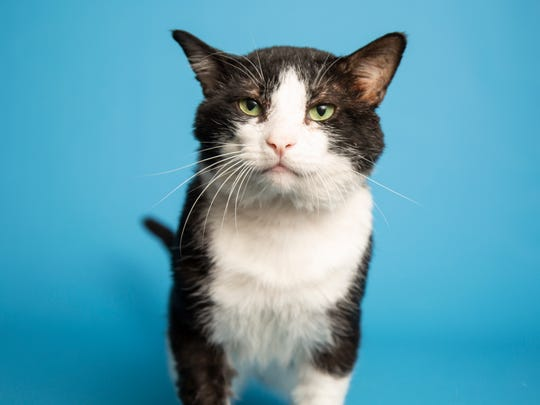 Sylvester is available for adoption at Arizona Humane