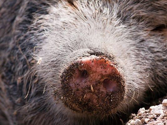 636047777436483081-pig-snout-ThinkstockPhotos-526763983.jpg