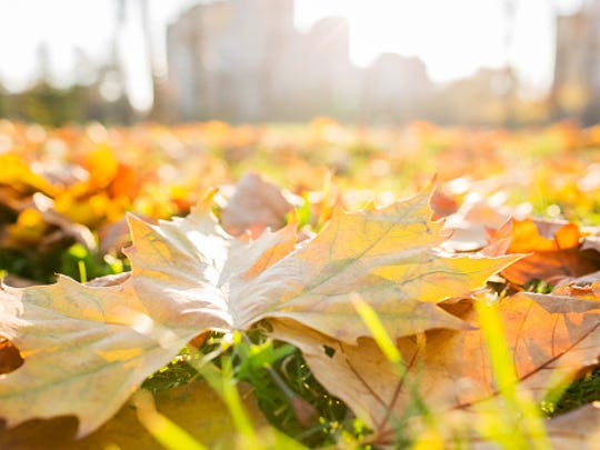 Yellow leaves in autumn park.