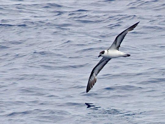 In flight Black-capped Petrel, Pterodroma hasitata