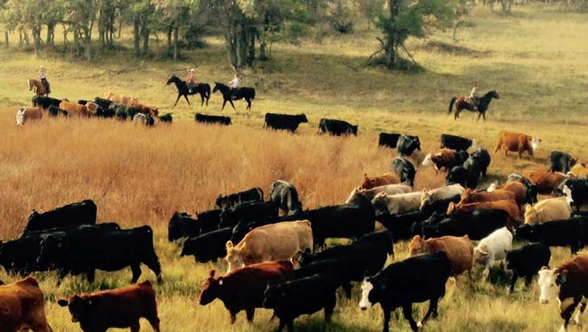 Cowboys herd cattle to grazing sites in this submitted photo from the Western Legacy Farm and Ranch in Hurricane.