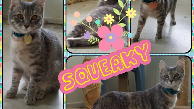 Hello my name is Squeaky. It took me a little bit of time to get used to the shelter staff but now I am a huge cuddle bug. I love to play and when I am done I love a good lap to curl up in to get petted. I like to talk to all of the people who come in to see me and my friends. Squeaky is at the Humane Society of North Central Arkansas, 2656 AR Hwy 201 North. For more information, call  (870) 425-9221.