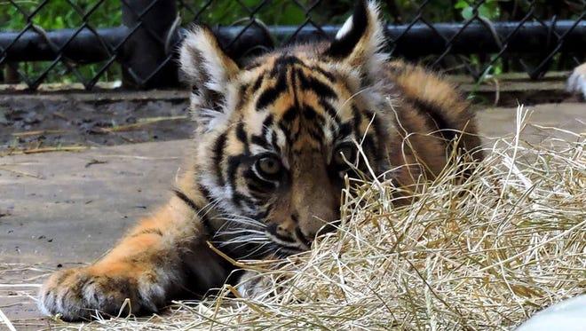 Eko the Sumatran Tiger was born May 20 at the Jackson Zoo.