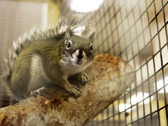 The Phoenix Zoo is working on a breeding program for the Mount Graham red squirrel, whose numbers are down to 67 in the wild.