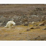 National Geographic photographer opens up about not helping dying polar bear