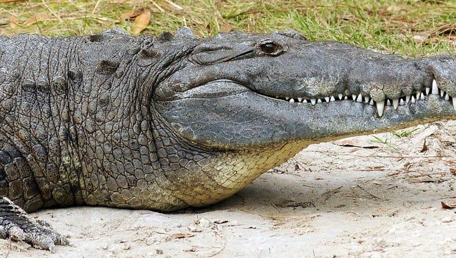 A crocodile was found in an NJ basement.