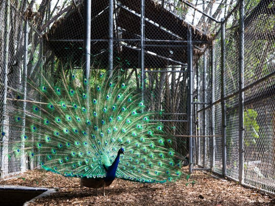 Picasso the peacock displays his long train of emerald and cobalt quill feathers at the Wonder GardensÊin downtown Bonita Springs on Tuesday, May 23, 2017. A new peahen was recently brought on as a potential new mate for Picasso.