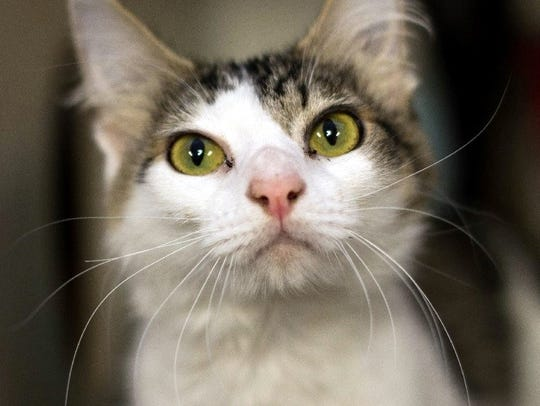Kingsley is a young female domestic short hair with