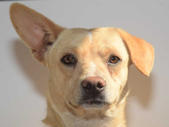 Waffles - Male Chihuahua mix, adult. Intake date: 1/25/2018