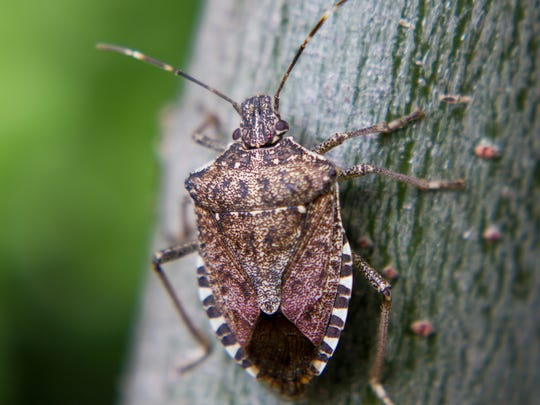 Brown Marmorated Stink Bugs are back with a vengeance this fall, entering homes and buildings through cracks under windows, baseboards and sliding glass doors. This is an extreme close-up just prior to it slipping indoors.