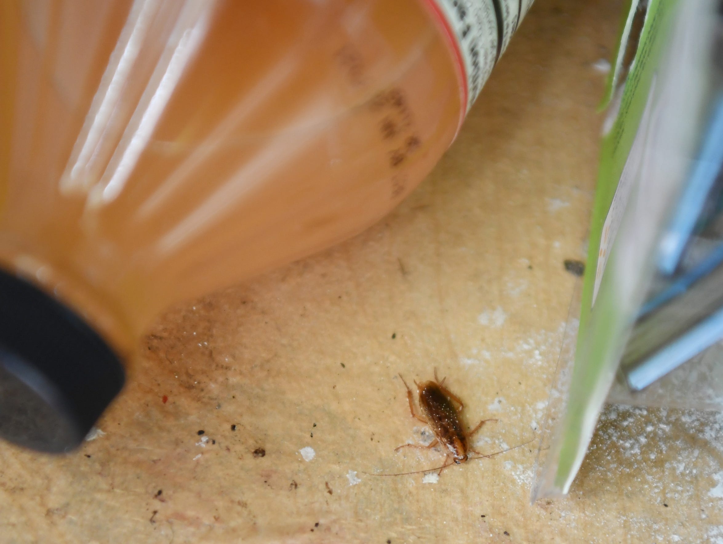 A roach in the apartment of Yanira Cortes, who lives