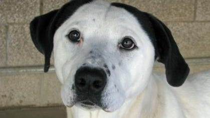 Who could resist this face? Daisy is sweet-natured, good on a leash and house and kennel trained.