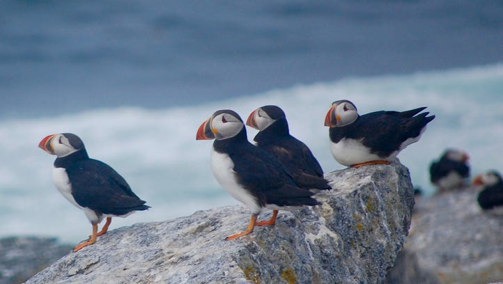 "Atlantic puffins perch on Eastern Egg Rock off the coast of Maine on July 22, 2016. Says conservationist Stephen Kress, the humble force behind the 43-year effort  to restore the bird colony: ""We've learned how to bring them back. But now we realize that to keep them here we have to not only manage this place into perpetuity, we need to be better stewards of life on the oceans."""
